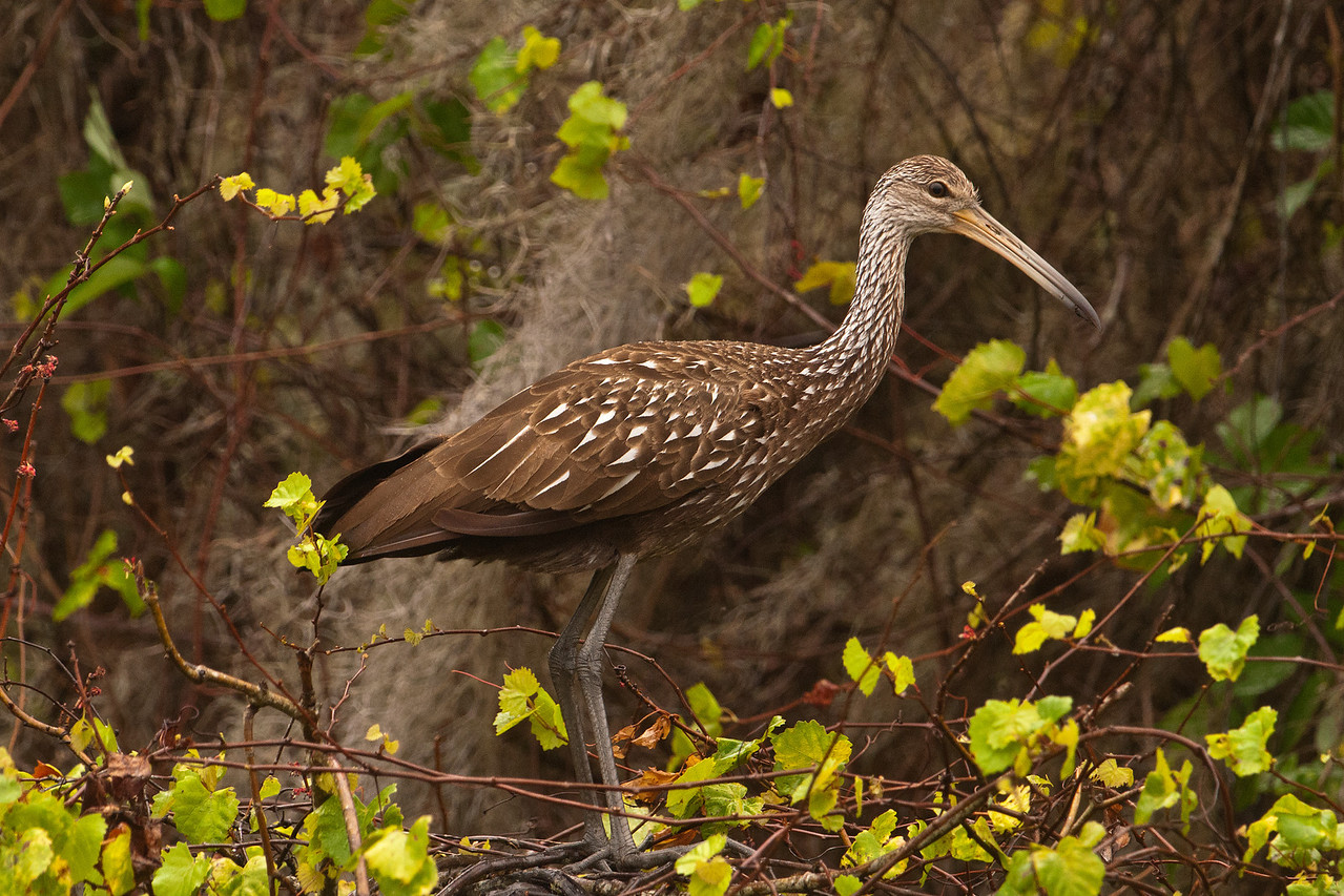 This week I have some photos from my photography workshop of one of my favorite birds, the Limpkin.  They are found throughout the American Tropics but in the United States, they are found only in Florida.  Limpkins are large birds, about 26–28 inches tall.  This photo was taken at Lake Marion, near Kissimmee, Florida.