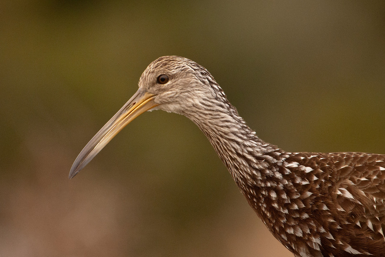 The Limpkin's favorite food is the Florida Apple Snail.  These snails are quite large and, of course, have slippery shells.  One of my books mentions that the Limpkin's bill has a slight gap between the mandibles, near the tip of the bill.  It's just enough of a curve to help them grip the snails.  You can see the gap in this photo, taken at Three Lakes WMA, also near Kissimmee.