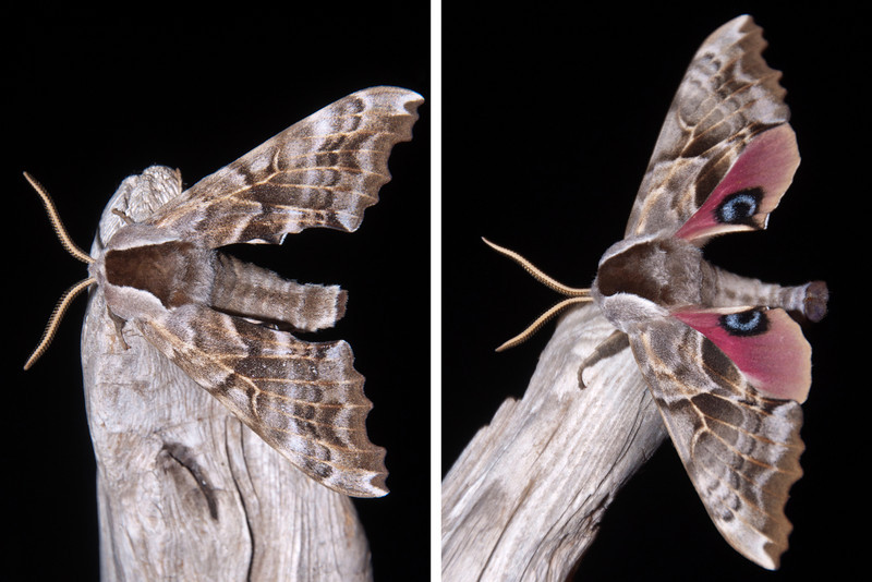 Sometimes I leave our porch light on for a while after dark to see what kind of moths are attracted to the light.  On Friday I found this one and got it to climb onto a stick so I could photograph it.  Moths have two sets of wings.  The left photo shows the top set of wings.  In the photo on the right, the top wings are spread and you can see the colorful under wings.  This gives you a clue about how it got the name One-eyed Sphinx Moth.