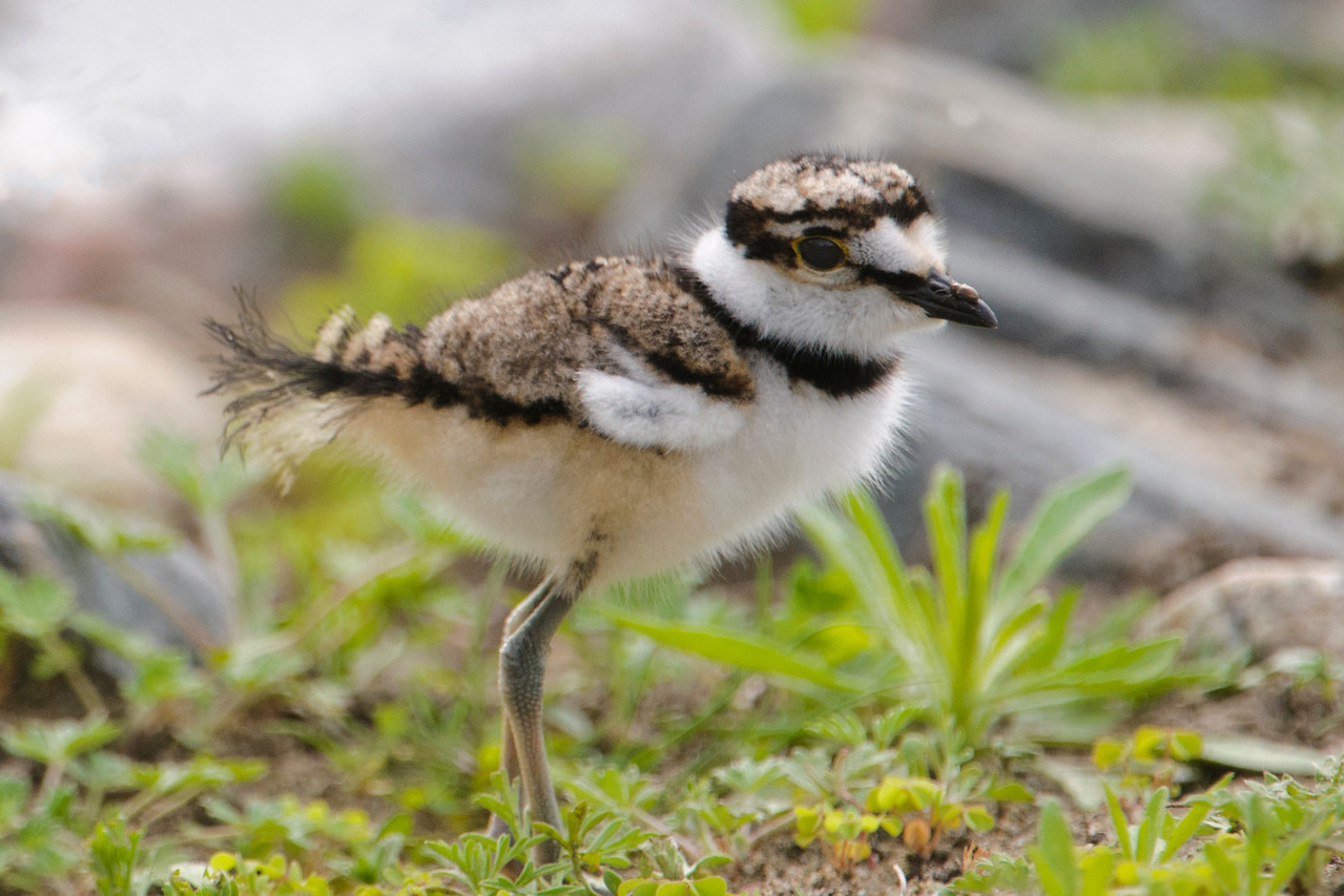 Baby Killdeer always remind me of little puff balls on legs that look way too long.  I saw this one when I went to the Grand Rapids Wastewater Treatment Plant to look for a greater White-fronted Goose, an unusual bird to find in our county.  Someone who works at the plant and knows I do a lot of birding saw one there and told me about it.  I didn't get to see the goose but there were lots of baby birds around so I decided to photograph them.