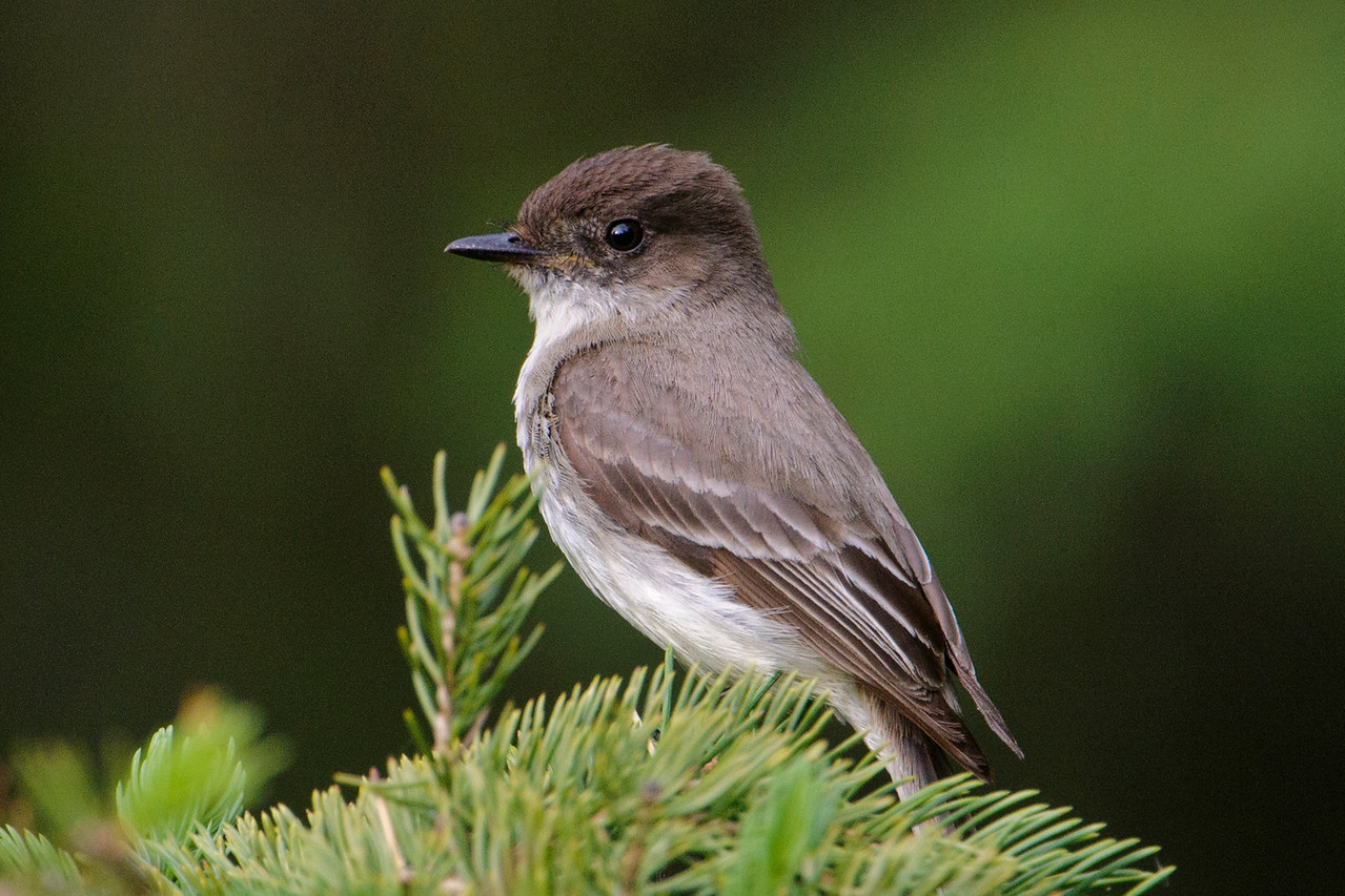 Here's a look at one of the Phoebes.  Both male and female look alike so I can't tell which one this is.