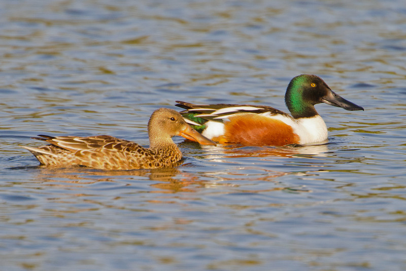 This photo of a male and female Northern Shoveler gives you a good view of their huge bills.  One of their main feeding patterns is to swim along in a pond with this huge bill barely submerged.  Food is strained from the water by the comb-like edges of the bill.  Shovelers are apparently one of our fastest flying ducks.
