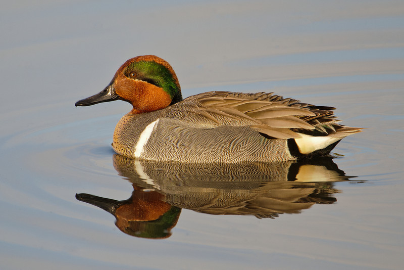 Here's the male Green-winged Teal.  He's a very handsome duck but he's not showing us any of the green in his wings.