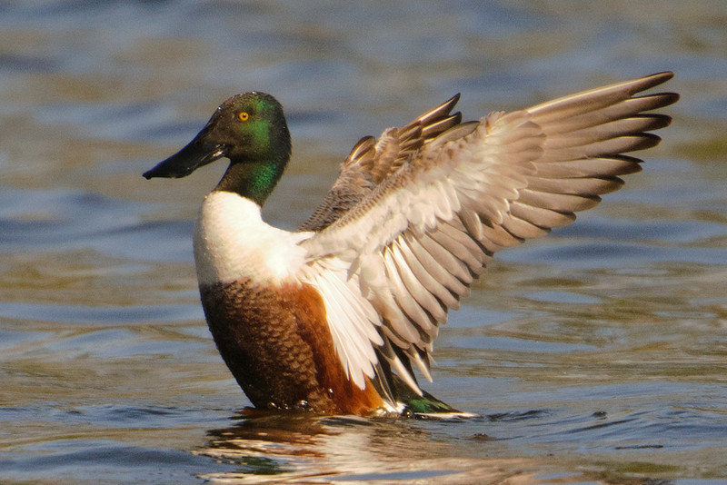 Here's a view of the underside of the Shoveler's wing.  These photos were also taken at Lake Como.