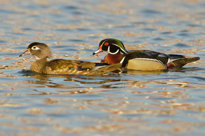 Spring brings lots of ducks through our area on their way to their breeding grounds in the northern United States and Canada.  Fresh breeding plumage means they look their very best at this time of the year.  Here is a pair of Wood Ducks I found at Como Lake in St. Paul, MN.  I had a photo of Wood Ducks just two weeks ago but you couldn't see the female very well in that photo.  While she isn't as flashy as the male, you can see the subtle iridescence of her wing feathers.