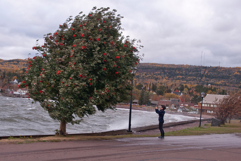 Here's a dramatic and yet funny shot that shows the strength of the wind.  This Mountain Ash tree is being buffeted by the wind and the woman trying to take a photo looks like she is barely hanging in there.