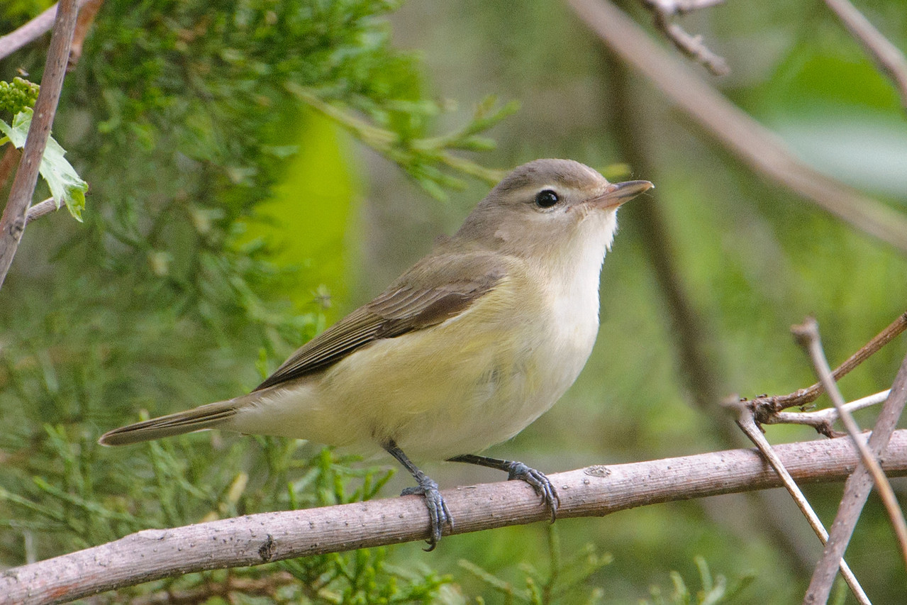 Here's a bird that had us stumped for a while.  It made only a brief appearance and no one got a very good look at it.  I managed to snap a couple of photos before the bird disappeared.  After downloading them to my computer and showing them to the workshop leaders, they decided it was a Warbling Vireo.  It's often overlooked because it's a plain, nondescript little bird that tends to stay high in the tree tops.  It has a pretty distinct song, though, so birders often hear it even if they don't see it.