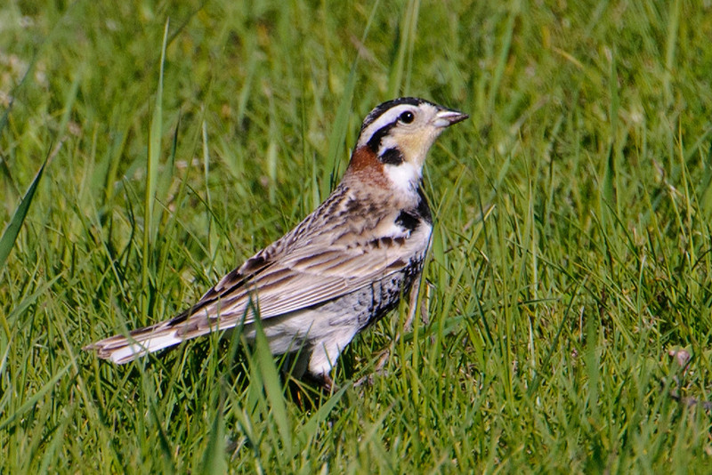 "Another bird that nests on the prairies is the Chestnut-collared Longspur.  This is a male and he shows the colorful face pattern, the black belly, and the namesake ""chestnut collar"".  The female is much less colorful; she's brown and white all over."