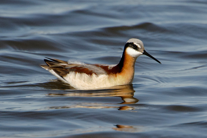 Wilson's Phalaropes were a common sight at the Prairie Bird Workshop I attended near Fort Pierre, South Dakota. This is a female and, unlike most other bird species, she is more colorful than the male.  (More about this in the next photo.)  Wilson's Phalaropes are classified as shorebirds but, as you see in this photo, they can also swim.  They often swim rapidly in a tight circle and pick off food items that are brought to the surface by the churning of the water.