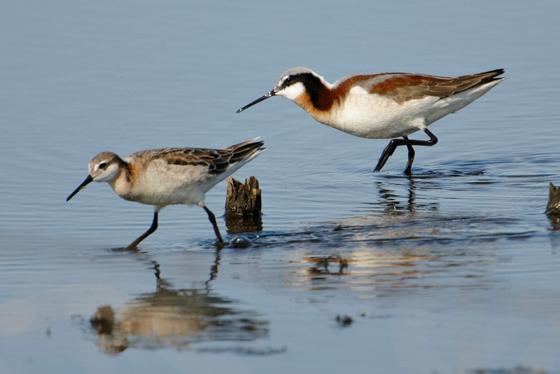 The female Wilson's Phalarope, on the right, is noticeably larger than the male, on the left.  In addition to the female being more colorful and larger than the male, they are non-conformists in the bird world in another way.  The female courts the male and after she lays the eggs, she leaves and lets him incubate the eggs and raise the chicks.  She might then find another male and start all over again with him.  They nest in prairie wetlands of the United States and Canada.