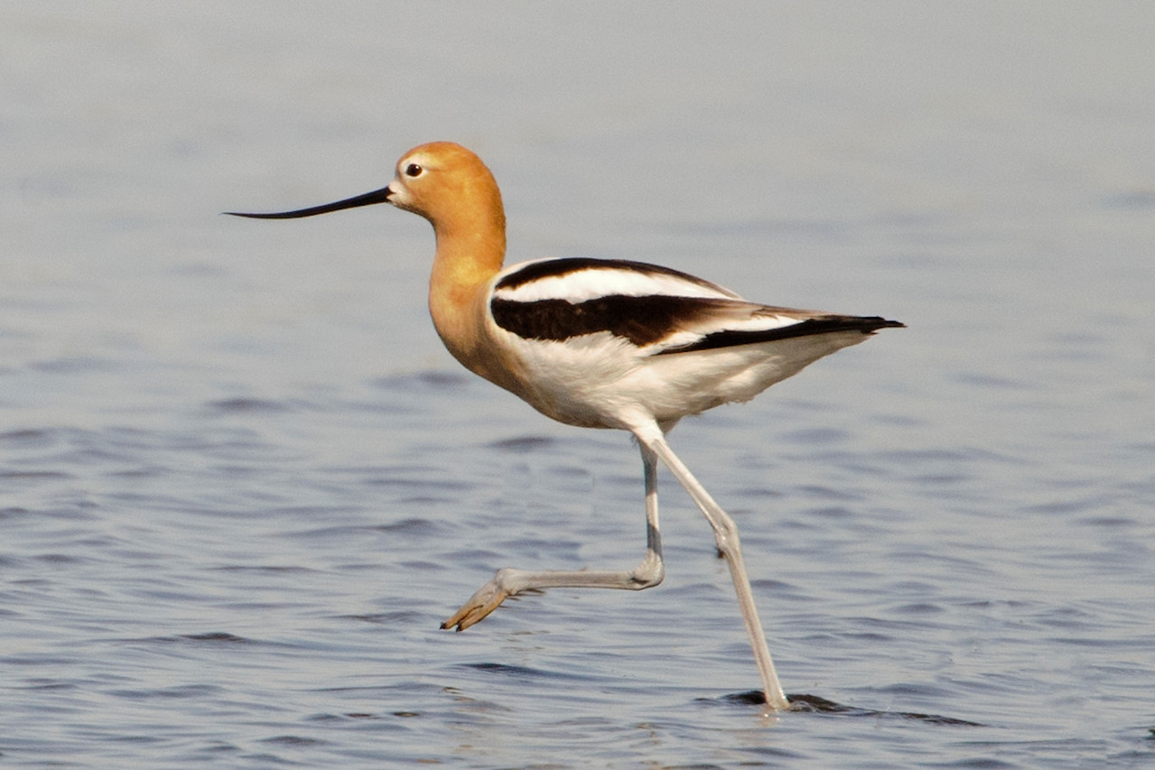 "We saw several American Avocets and they were in breeding plumage.  In winter, the head and neck are white or gray, but in summer they turn rusty-colored, as shown in this photo.  Here's a link to one of my photos showing the winter plumage.<br /> <br /> <a href=""http://www.earlorfphotos.com/Birds/Birds-1/5685565_PXvJ44#!i=350424162&k=MHhh6"">http://www.earlorfphotos.com/Birds/Birds-1/5685565_PXvJ44#!i=350424162&k=MHhh6</a>"