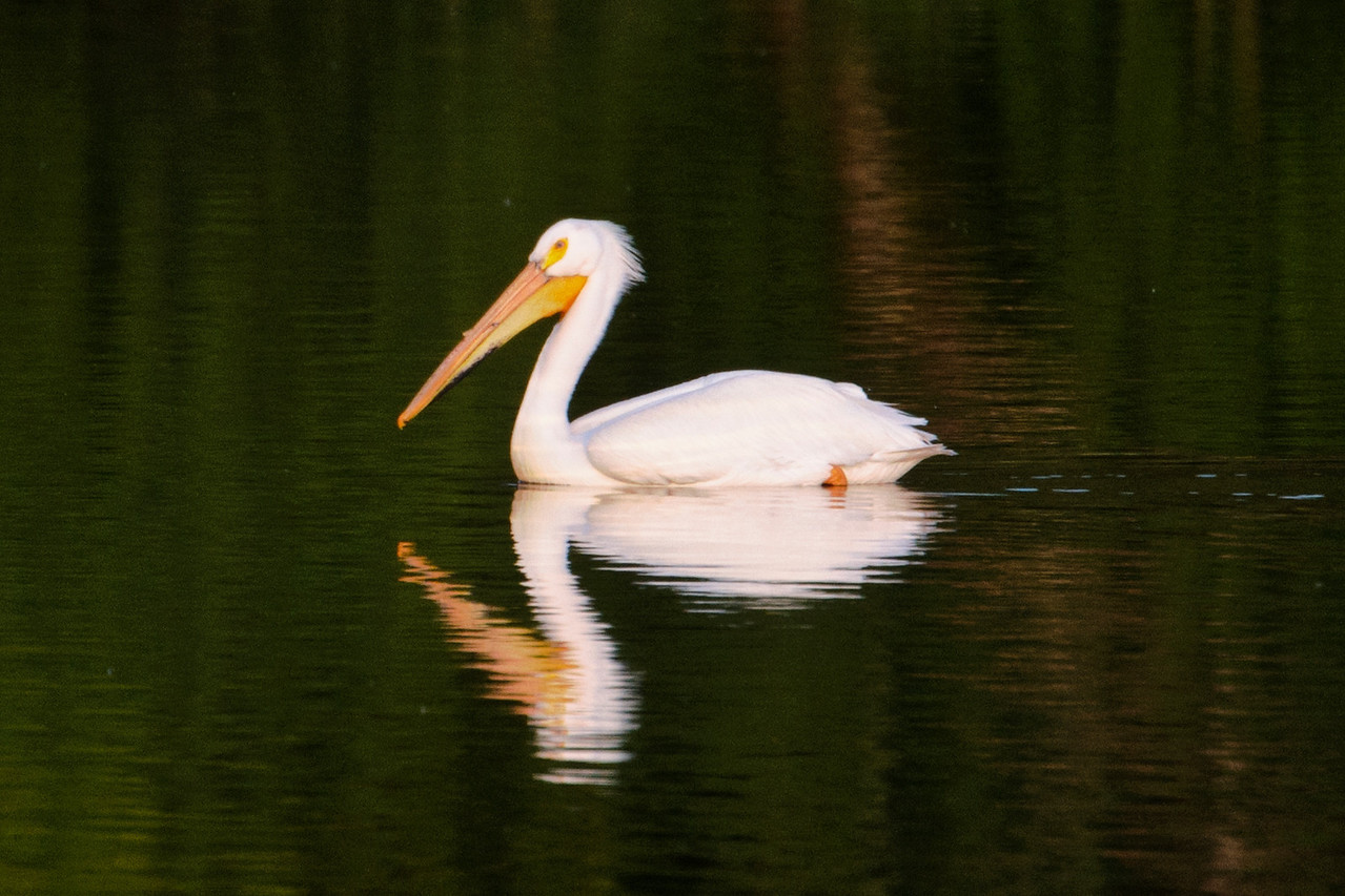 I was approaching Howard Lake, Minnesota on my way home.  It was almost dark and the low sunlight lit up this American White Pelican.  It was slowly swimming by in a pond along Hwy. 12.