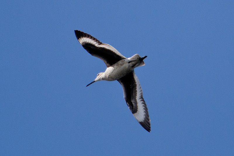 "At another spot we saw several Willets.  They are fairly large shorebirds (15"") and very plain looking when seen on the ground (mottled brown and white).  But when they fly, they show off their beautiful wing pattern."