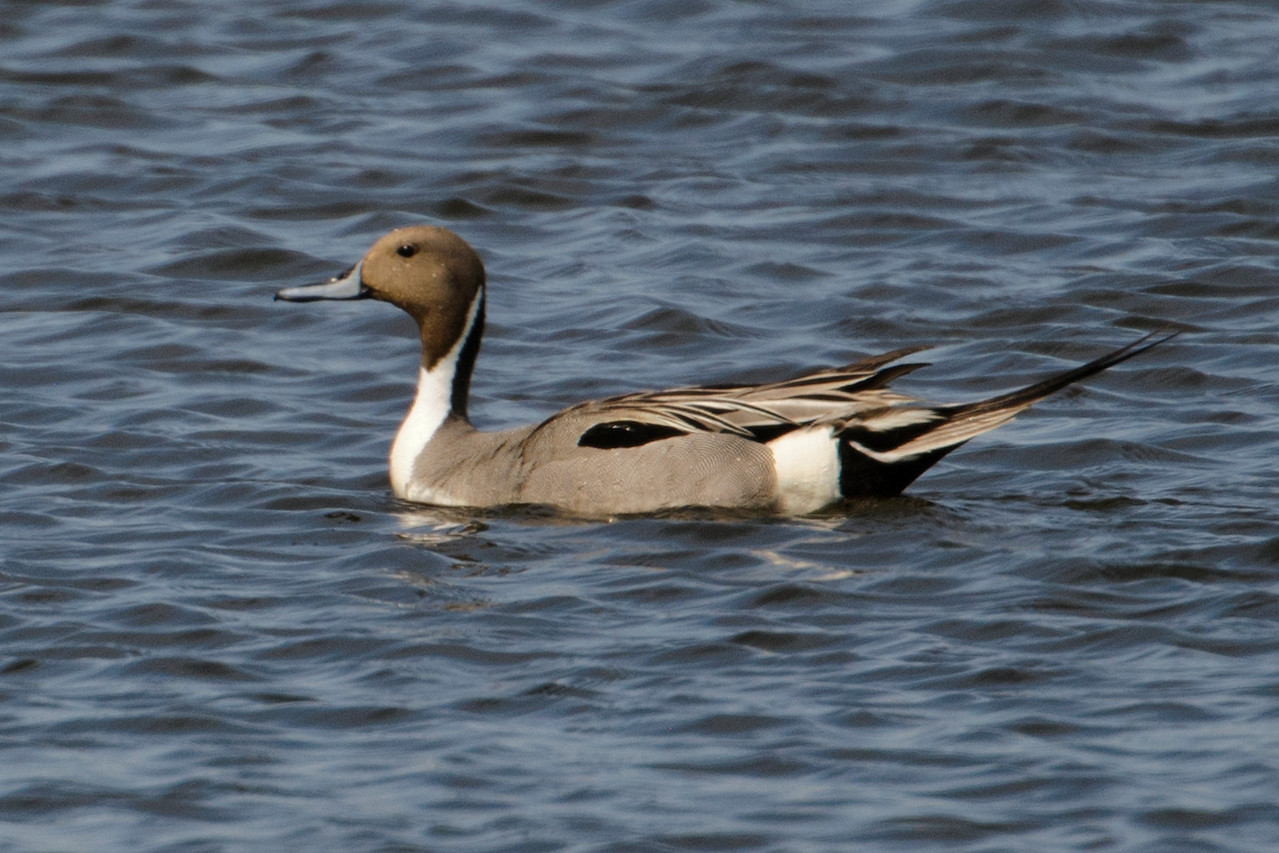 Every little pond along the way seemed to have a few ducks in it.  I didn't make note of the exact location, but I found this mail Pintail along Hwy 12 in western Minnesota.  I think Pintails are one of our more elegant looking duck species.