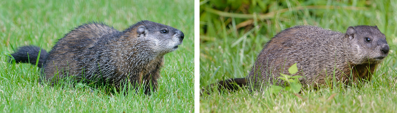 Here's an update on our local Woodchucks.  Junior (right photo) is now almost as big as Mom (left photo).  We're still seeing both of them so I looked back in my records; the latest we have seen a juvenile in previous years was the first week of July.  That could mean Mom hasn't chased the juvenile away yet, or it could mean that none of the babies from previous years survived this long.  We often see these two under our bird feeders eating seed that has fallen to the ground.  Neither Diana nor I can remember seeing Woodchucks do that before.  In other years they have always been eating grass and other vegetation.