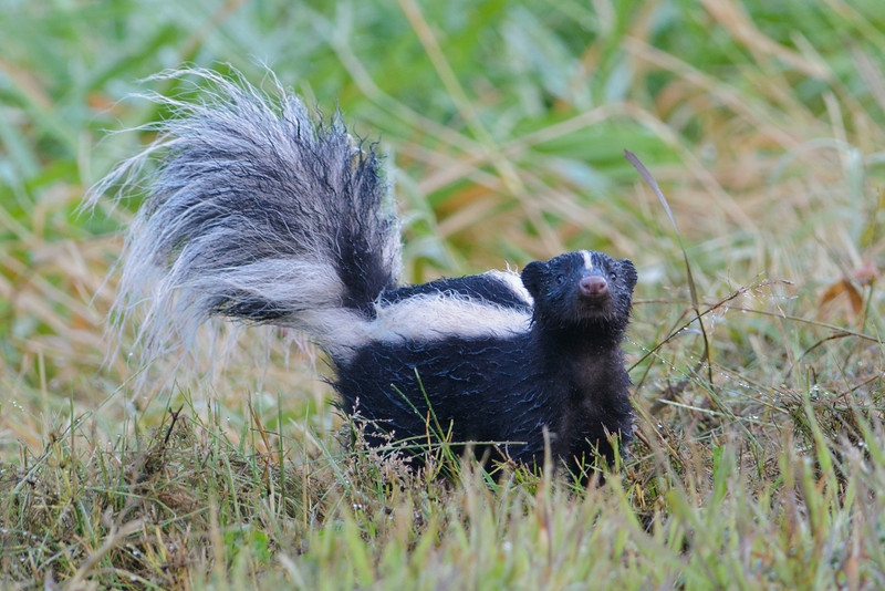 Here's a little stinker I found when I was out birding about a week ago.  Skunks are mostly nocturnal so it's kind of unusual to see one during the day.  The grass was very wet that morning and you can see how wet the skunk's fur has gotten.  I did stay in the car and kept my distance while I took this photo.
