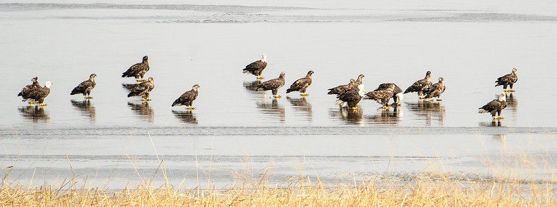 Here's a mixed group of adult and immature eagles resting on the ice.  I counted 19 birds in this photo.