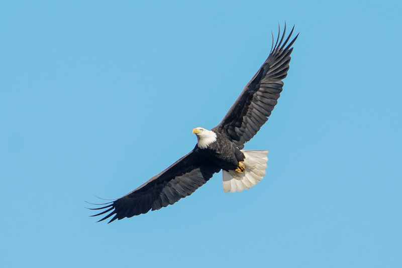 At the end of November, I met fellow photographer Alan Stankevitz in Brownsville, MN, in the far southeast corner of the state.  He showed me some places to photograph Bald Eagles that gather along the Mississippi River during winter.  Here's one of the adult eagles soaring against a beautiful blue sky.