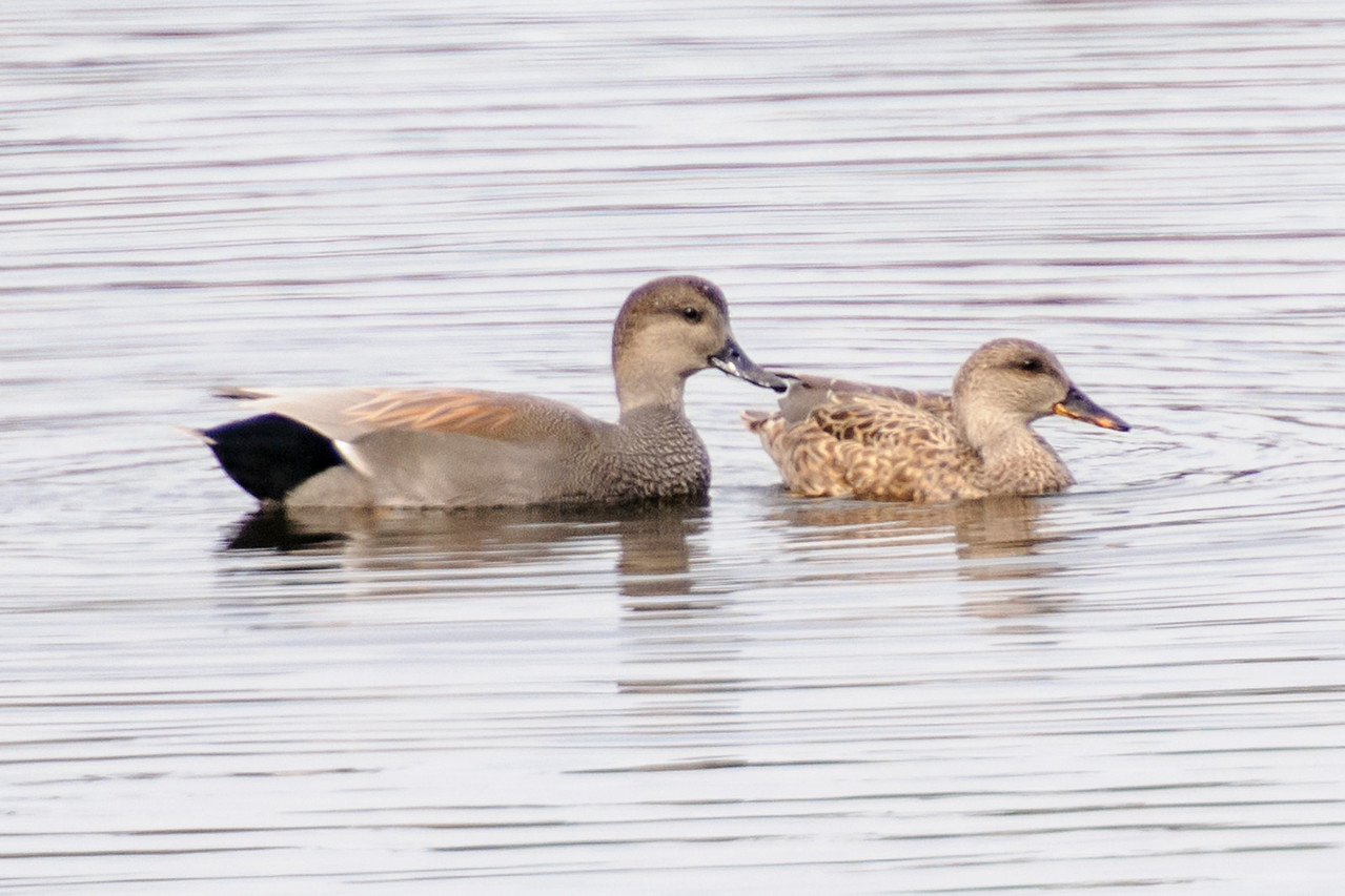 This Gadwall pair (male on the left) was among the ducks on a small freshwater pond near the jetty.  Gadwall nest in the north central United States and southern Canada.  Like most ducks, they head south or to the coasts for the winter.