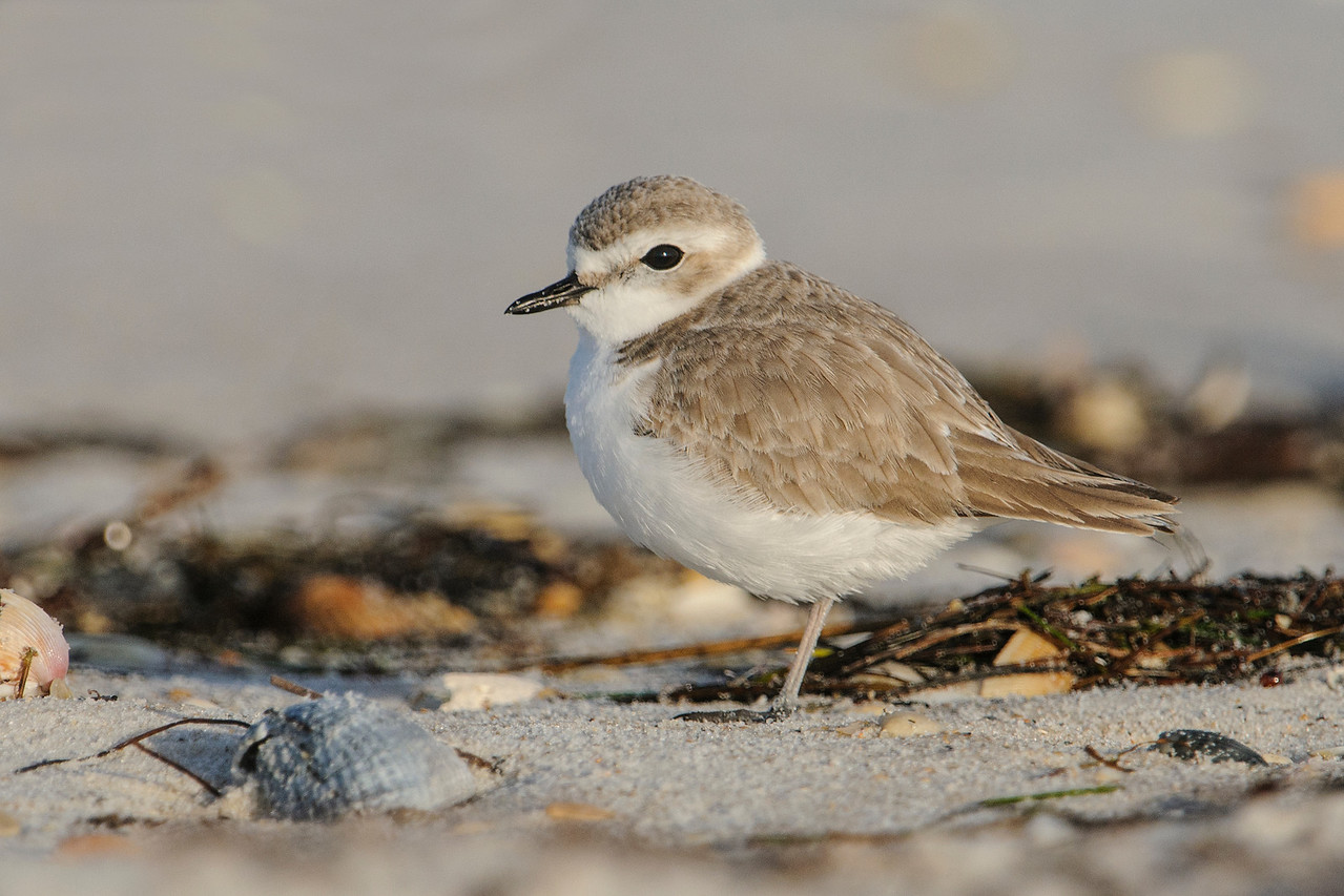 "Snowy Plovers are found year-round along the Gulf of Mexico coast.  They are often overlooked because they are small (6 to 7"") and the color of their plumage blends so well with the dry sand found along the coastline.  This photo was taken at St. George Island State Park."