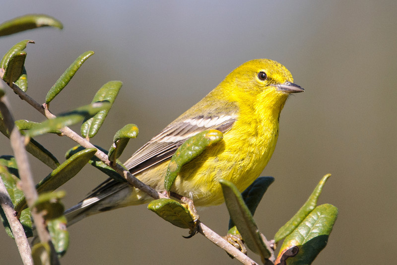 Most warblers leave the United States in the winter but not the Pine Warbler.  Almost all of them spend the winter in our southeastern states.  This one was photographed at Bald Point State Park in Florida.
