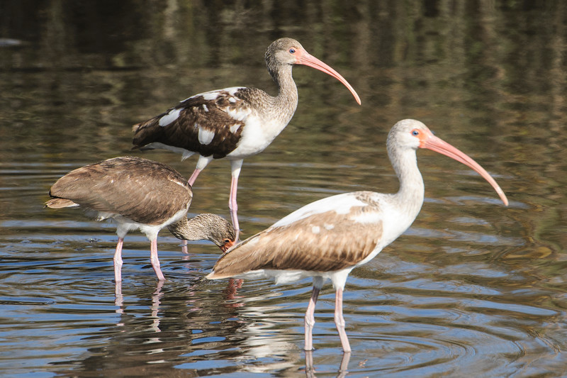 "Here's an interesting study in plumage.  These are all White Ibis but they are juveniles.  Each one shows a different stage of molting into adult plumage.  They start out mostly brown, like the one on the left with its head down.  The middle one has already replaced some brown feathers with white ones.  The one on the right is even further along; the head and neck are mostly white.  Here's a link to one of my bird galleries showing White Ibis in their adult plumage.  <a href=""http://www.earlorfphotos.com/Birds/Birds-3/5689244_sMmgBc#!i=350687422&k=9qpR8bQ"">http://www.earlorfphotos.com/Birds/Birds-3/5689244_sMmgBc#!i=350687422&k=9qpR8bQ</a>"