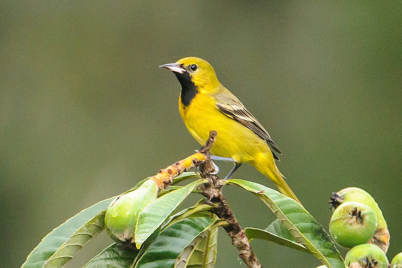 This juvenile male Orchard Oriole was found at the same home as the Calliope Hummingbird.  It's an unusual sighting only because it is back from the tropics so early.  There must be something special about this home because they also had a Buff-bellied Hummingbird earlier in the winter.