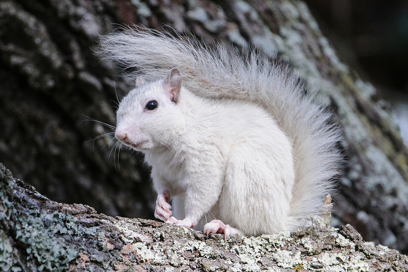 The last unusual sighting is this white squirrel, one of several that live in Ochlocknee River State Park, about 35 miles south of Tallahassee.  It is a Gray Squirrel but has all white fur.  It doesn't have red eyes so it's not an albino.