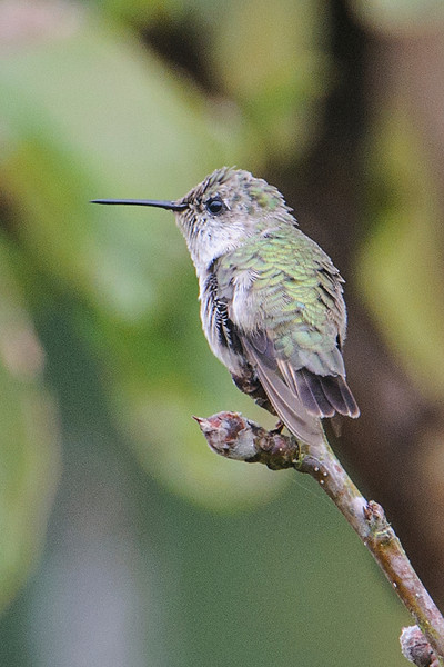 Another unusual sighting was this Calliope Hummingbird, seen at a home in Apalachicola, Florida.  At only 3¼ inches, it's one of the smallest hummingbirds.  In summer, Calliope Hummingbirds are found in the northwestern United States and southwestern Canada.