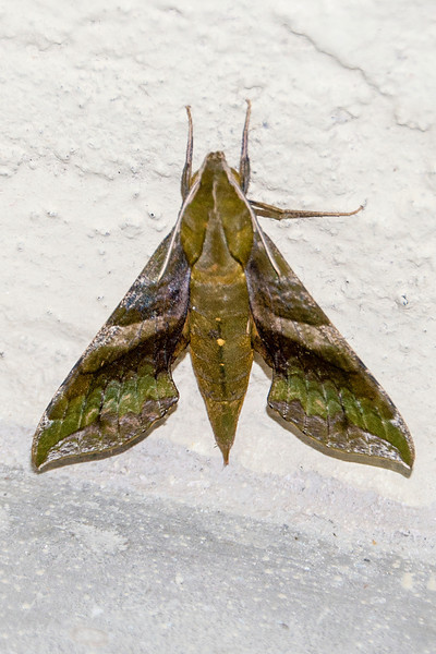 Here's an interesting moth I found clinging to the side of a building near the Sanibel Lighthouse.  It was identified by someone on Bugguide.net as a Pluto Sphinx Moth.  The wing span of this moth is 2 to 2½ inches.  It's found in many South American countries, but in the United States it is found only in Florida and south Texas.