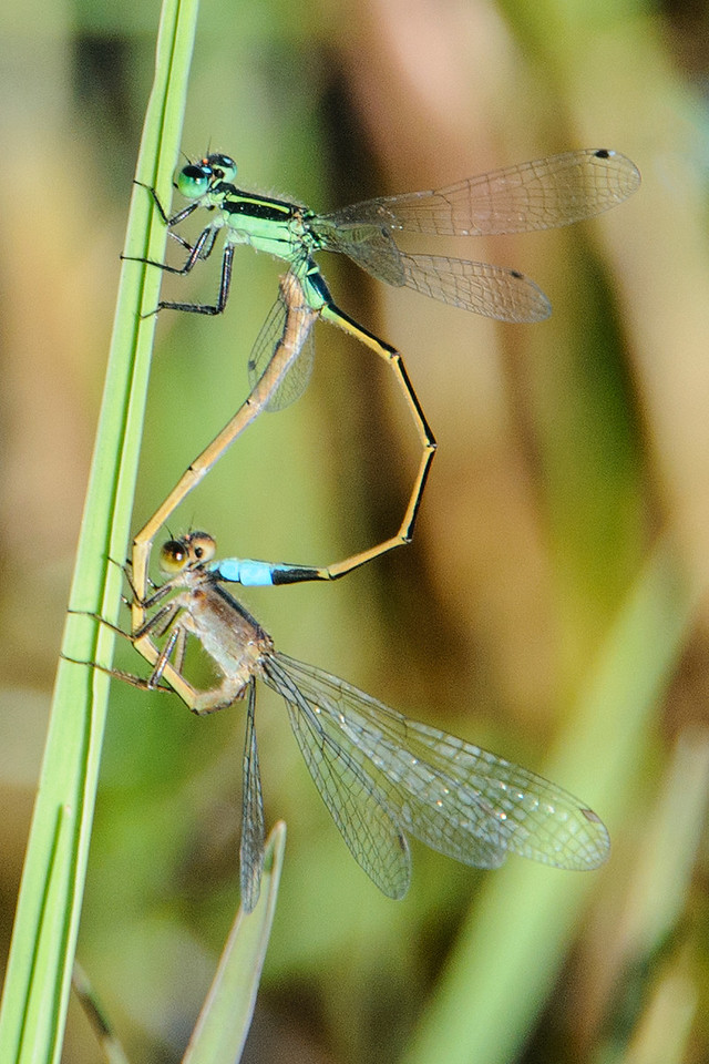 "I took this photo of two damselflies mating along the Pond Apple Trail on Sanibel Island.  I submitted the photo to my favorite insect web site ( <a href=""http://www.bugguide.net"">http://www.bugguide.net</a> ) and someone identified these insects as Rambur's Forktails.  There wasn't much information available about them, but I did find out that they are pretty common.  They are found over most of the United States, Mexico, and all the way south to Chile.  They are even found in Hawaii."
