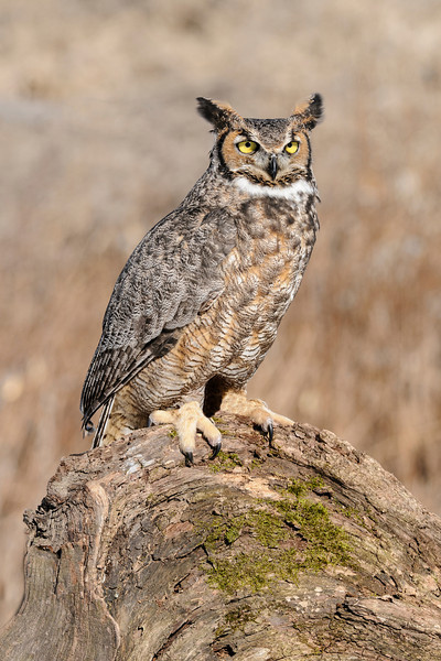 "The Great Horned Owl is the most widely distributed owl in North America.  It can be found in all parts of the United States, most of Canada, and even into Mexico.  At 22"" tall, it is just slightly taller than a Barred Owl.  However, it is twice as heavy (3.2 lbs. compared to 1.6 lbs.).  Notice the characteristic white bib on this bird.  I'm always impressed at the size of the Great Horned Owl's talons."