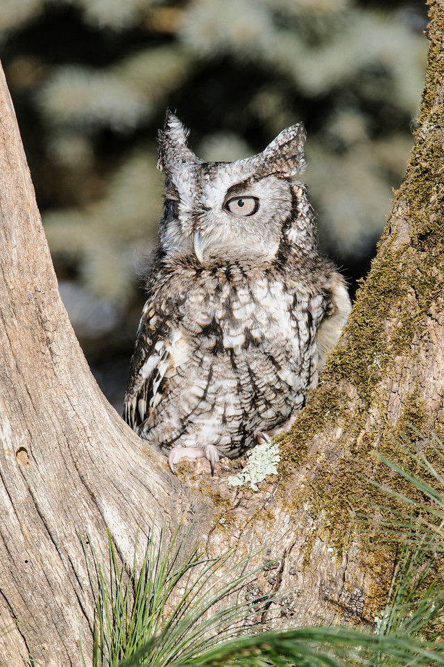 "We also had a gray Eastern Screech-Owl to photograph.  True to their name, Eastern Screech-Owls are found over most of the eastern United States.  However, their call is more like a whinny than a ""screech."""