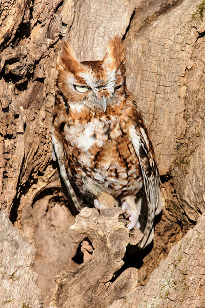 Eastern Screech-Owls can be either red (like this one) or gray.  These two variations are called color morphs but they are still the same species.  These are very small owls, only 8½ inches tall.  The sun was bright so this little owl wasn't interested in opening its eyes very wide.