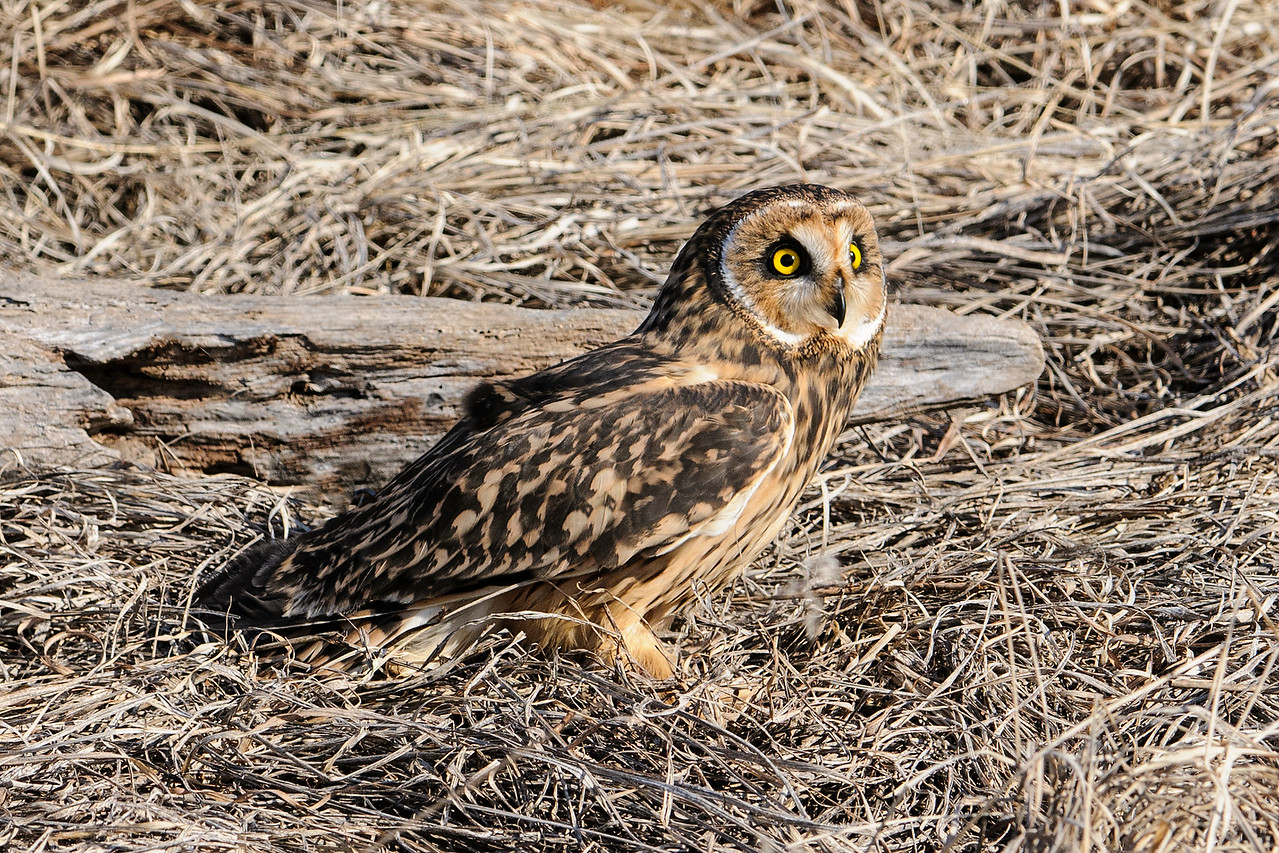 The last owl we photographed was this Short-eared Owl.  Although not visible in the photo, these birds do have short feather tufts on the top of their heads.  However, that's not where the ears are located.  The ear openings are within the facial disc.  One ear opening is higher than the other which helps the owl precisely locate its prey.