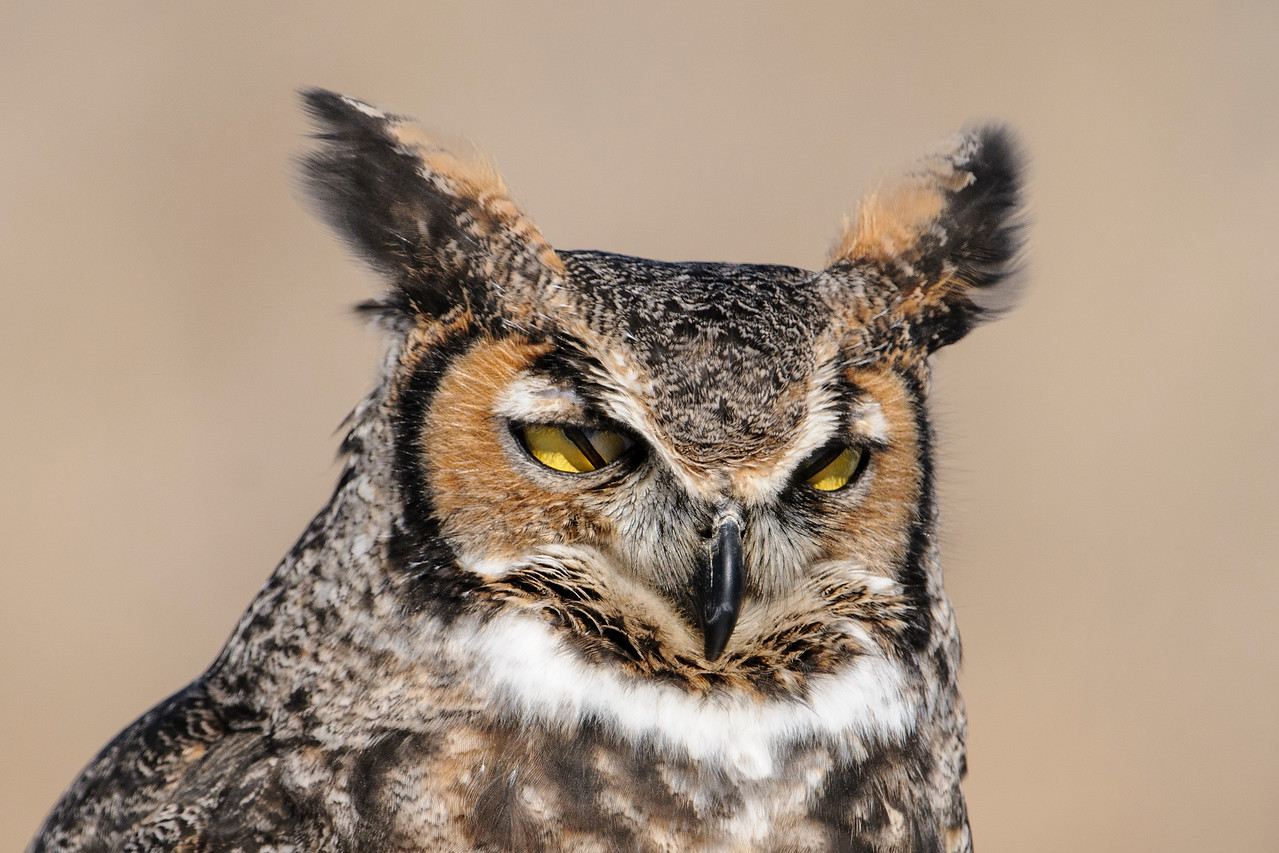Owls, as well as many other bird species and some mammals, have a second eyelid called a nictating membrane.  It moves side to side, from the inside corner of the eye to the outside.  It has moved about halfway across the right eye of this Great Horned Owl and is just starting to be visible in the left eye.