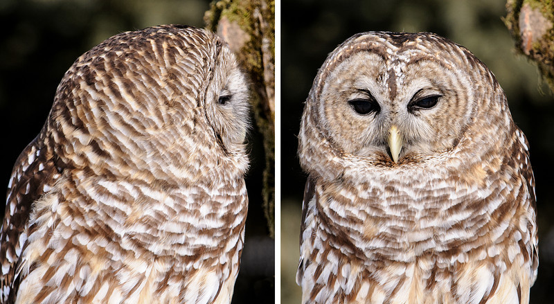 "Most owl photos show their heads facing forward, like the photo on the right.  The side view of this Barred Owl shows how the feathers on its face form a disc, kind of like a satellite dish.  That helps funnel sounds into their ears, which are located within the facial disc.  Also note how long the head looks from front to back.  It's not really that large, of course, because an owl's feathers are very ""puffy"" and make the head look much bigger than it really is."