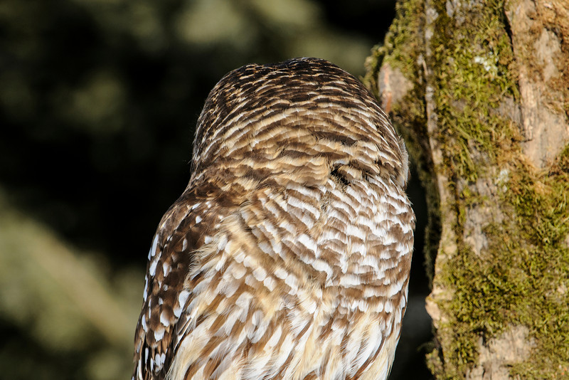 The shape of an owl's eye is tubular, not round like ours, so the eye cannot be turned in its socket.  This means the owl must turn its whole head in order to see to the side.  The amazing thing is that an owl can turn its head 270 degrees in either direction.  That means the owl could look to the left by turning its head to the right, rotating the head three-fourths of the way around.  They don't usually do that, of course, but this photo shows a Barred Owl turning its head 180 degrees to look behind it.  One reason owls can do this, and we can't, is that they have 14 vertebrae in their necks and we have only seven.  This gives them a lot more flexibility.