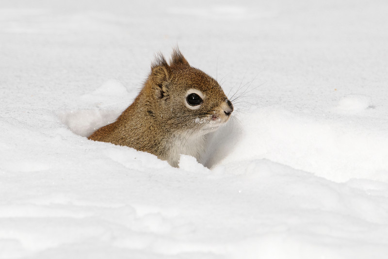 Spring officially started over three weeks ago, but here in northern Minnesota we still have more than a foot of snow on the ground.  Our lake is still covered with 27 inches of ice!  In our front yard, the Red Squirrels made tunnels under the snow.  It's no coincidence that the tunnels come to the surface right under our bird feeders.  Here's one of the squirrels popping up to look around.