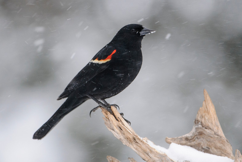 We had another heavy snow storm on Thursday and Friday of this week.  We were at our lake home in northern Minnesota during the storm.  Here's a male Red-winged Blackbird who showed up at our feeders about 10 days ago.  As he was being pelted by the snow, I'll bet he was second guessing that decision.