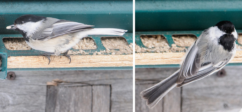"We have a large number of Black-capped Chickadees visiting our feeders.  Chickadees usually look like the one on the right.  The one on the left is unusual because it has a white tail.  When a bird has some white feathers like this, it is said to be leucistic.   Three years ago we had three leucistic Chickadees coming to our feeders.  Here's a link to that story.  <a href=""http://www.earlorfphotos.com/Pictures-of-the-Week/2010-Pictures-of-the-Week/3-28-2010-Leucistic-Chickadees/11610590_CbpGLt#!i=818436666&k=f3SfWZw"">http://www.earlorfphotos.com/Pictures-of-the-Week/2010-Pictures-of-the-Week/3-28-2010-Leucistic-Chickadees/11610590_CbpGLt#!i=818436666&k=f3SfWZw</a>"