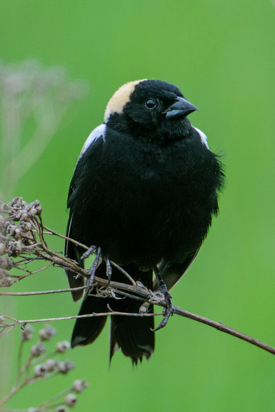 Here's the way he looks from the front.  Most birds with light and dark feathers have the dark feathers on their backs and the light feathers on their bellies, but the Bobolink is just the opposite.  Bobolinks nest in hayfields all across the northern United States and southern Canada.  In winter, they migrate to southern South America.