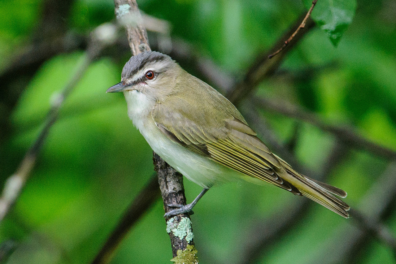 This is a very aptly named Red-eyed Vireo.  It likes to sit high in a tree and sing its rather monotonous song ALL DAY LONG!  Most birds only sing during a few weeks while they are courting but the Red-eyed Vireo seems to sing for most of the summer.