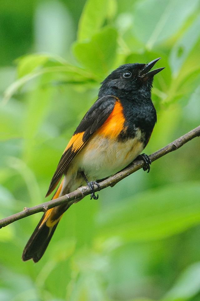 Two weeks ago I photographed this set of songbirds at White Oak Lake near Deer River, MN.  Migration is over so these birds are likely nesting in the area.  This is a male American Redstart.  He is singing to defend his territory.  Brushy areas around the edges of lakes are one of the preferred habitats for this species.