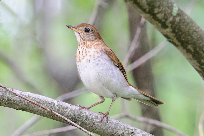 I felt fortunate to get a photo of this Veery because they are very secretive and like to stay hidden back in the woods.  This is a bird more often heard than seen.  It has a beautiful, flute-like song and can sing two different pitches at the same time.  It sounds like a duet but is really coming from just one bird.