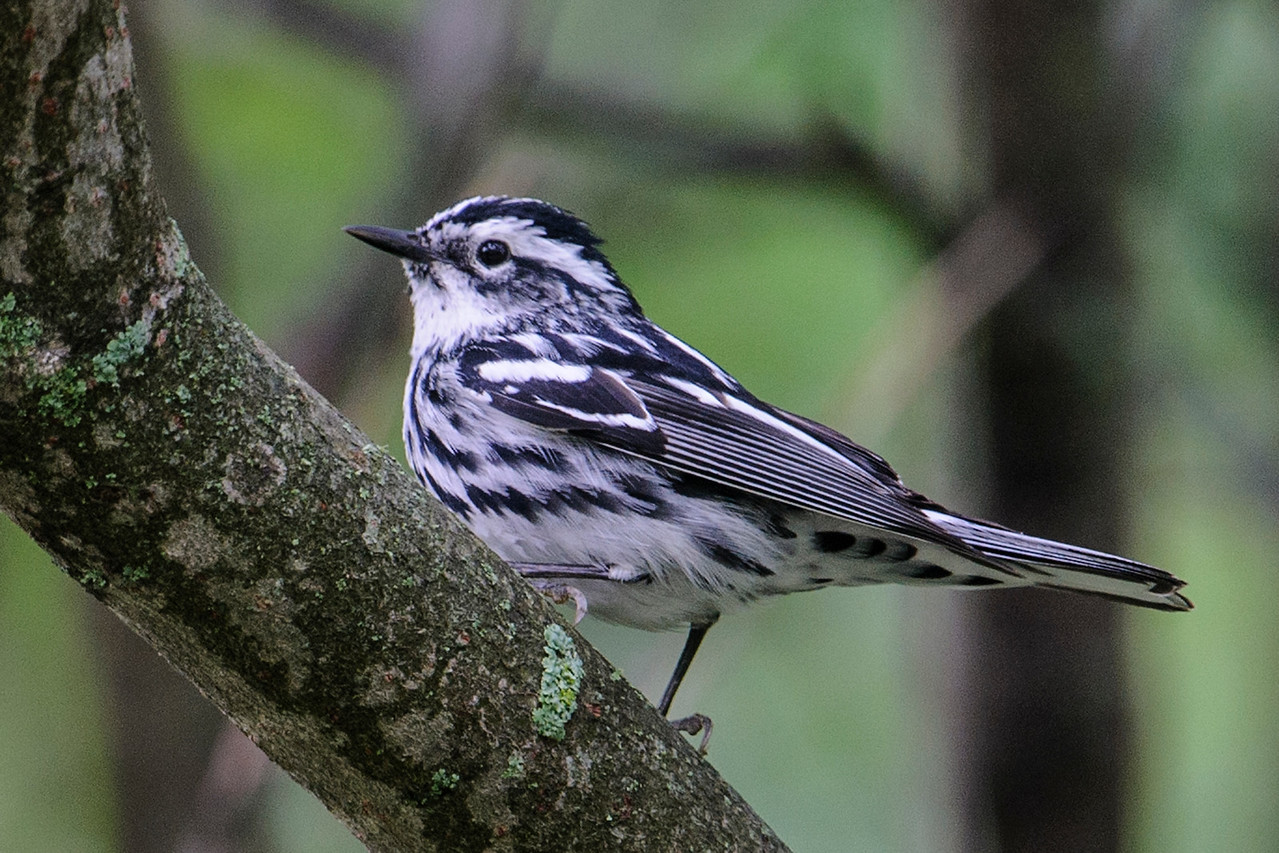 Black and White Warblers, despite their limited range of colors, are quite good-looking birds.  Subtle differences in breeding plumage allow identification of males and females.  This is a female; see the next photo of a male for comparison.