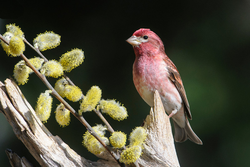 We didn't have any Purple Finches in our yard all winter.  They finally came back at the beginning of May.  This is a male Purple Finch.