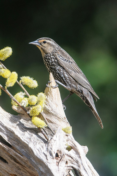 A week later, the pussy-willow buds were covered with yellow pollen.  This female Red-winged Blackbird is on a perch right above a tray feeder that holds golden safflower seed.