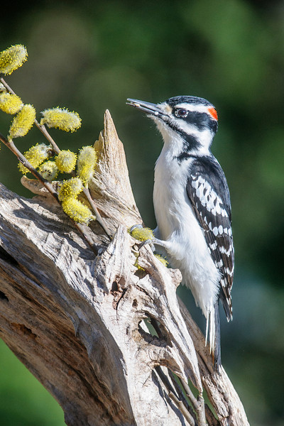 Hairy Woodpeckers are year-round residents in our yard.  This male looks like he picked up some seed in his bill before landing on the perch.