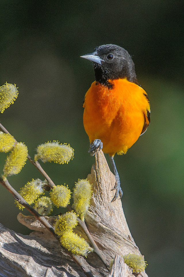 Baltimore Orioles are back and this male brings us a brilliant splash of orange each time he lands in our yard.  We've had 3 males and 2 females eating from the orange halves and grape jelly that we put out for them.